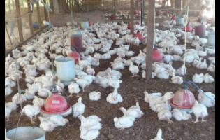 Health inspectors monitoring backyard poultry farms in order to maintain public health and safety standards.